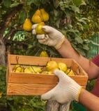 Le jardinier moissonne des poires Photo libre de droits
