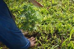 Le jardinier a pris des jeunes plantes de souci dans le sol images stock