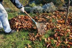 Le jardinier ratisse vers le haut d'une pile des feuilles d'automne tombées dans le jardin photographie stock libre de droits