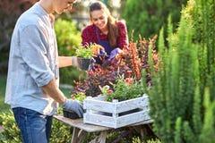 Le jardinier soigneux de type dans des gants de jardin met les pots avec des jeunes plantes dans la boîte en bois blanche sur la  image libre de droits