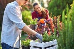 Le jardinier soigneux de type dans des gants de jardin met les pots avec des jeunes plantes dans la boîte en bois blanche sur la  images stock