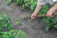 Le jardinier tirent vers le haut des mauvaises herbes avec une houe photos stock