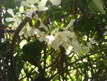 Le jasmin blanc fleurit sur une vigne leaved verte Photos stock