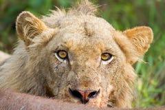 Yeux jaunes bouleversés de lion de regard fixe de plan rapproché fâché de portrait Photos libres de droits