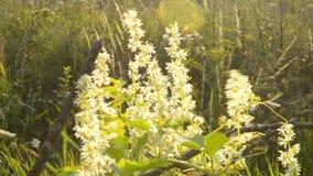 Le jaune blanc fleurit la soirée de matin d'été d'aube de coucher du soleil banque de vidéos