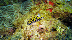 Le jaune a bloqué Nudibranch Photo stock
