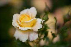 Le jaune a coloré rose Images libres de droits