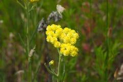 Le jaune d'herbe de pré fleurit le Helichrysum Image stock