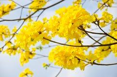 Le jaune de chrysotricha de Tabebuia fleurit la fleur Photo stock