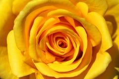 Le jaune de plan rapproché a monté Image stock