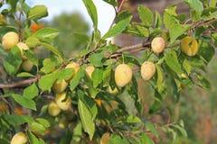 Le jaune de prune avec le vert laisse l'élevage dans le jardin Plomb Prune sur la branche Prune mûre Image libre de droits