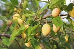 Le jaune de prune avec le vert laisse l'élevage dans le jardin Plomb Prune sur la branche Prune mûre Photos stock