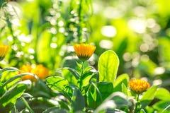 Le jaune doux de foyer fleurit beau Image stock