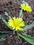 Le jaune du soleil fleurit la main de mongolicum de Taraxacum de  de ¼ de fin-upï - Mazz Photos stock
