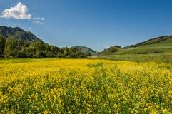 Le jaune fleurit des montagnes de pré Images libres de droits