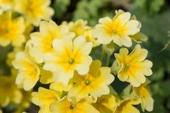 Le jaune fleurit des primevères (primevère vulgaris) sur un lit Photos stock