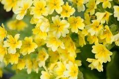 Le jaune fleurit des primevères (primevère vulgaris) sur un lit Image libre de droits
