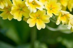 Le jaune fleurit des primevères (primevère vulgaris) sur un lit Photo libre de droits