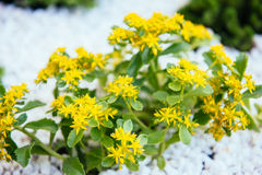 Le jaune fleurit des usines de sedum photo libre de droits