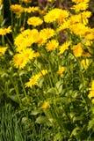 Le jaune fleurit le Doronicum également connu sous le nom d'élevage de s-fléaux de ` de léopard Photo stock