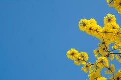 Le jaune fleurit le fond Images libres de droits
