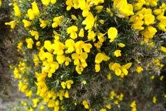 Le jaune fleurit l'Irlande Photo libre de droits