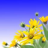 Le jaune fleurit le bouquet sur le fond bleu image libre de droits