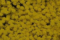 Le jaune fleurit le fond Image libre de droits