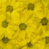 Le jaune fleurit le fond, modèle Plan rapproché Photographie stock libre de droits