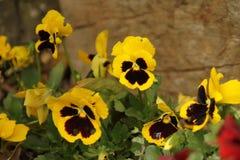 Le jaune fleurit le parkı d'Ortaköy YILDIZ, photographie stock