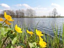 Le jaune fleurit près du lac, Lithuanie Photographie stock libre de droits