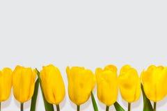 Le jaune fleurit Tulip Isolated On White Background Photo libre de droits