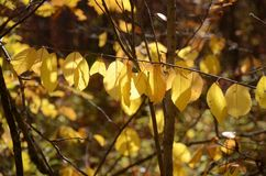 Le jaune laisse accrocher dans une rangée sur une branche dans un temps de forêt en automne Image stock