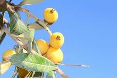 Le jaune local porte des fruits ciel bleu, Majorca, Espagne Photographie stock libre de droits