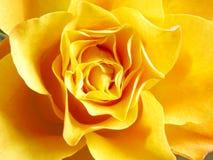 Le jaune a monté Images stock