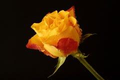 Le jaune a monté Photographie stock libre de droits