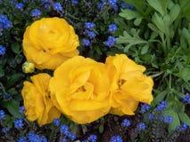 Le jaune a monté sur un jardin image libre de droits