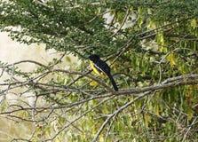Le jaune Morph de la pie-grièche cramoisie-breasted photo libre de droits