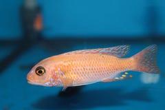 Le jaune morph des poissons d'aquarium de mbuna de zèbre (zèbre de Pseudotropheus) Image libre de droits
