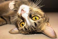 Le jaune observe le chat Photo stock
