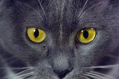Le jaune observe le chat gris Photos stock