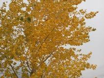 Le jaune part sur un arbre sous le joug d'un vent d'automne Photos stock