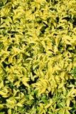 Le jaune pousse des feuilles fond Photographie stock libre de droits