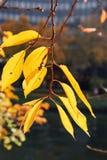 Le jaune pousse des feuilles fond defocused d'arbre d'automne Photo stock
