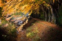 Le jaune rouge d'érable japonais de tunnel de Momiji part en automne Image stock