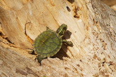 Le jaune s'est gonflé la tortue de glisseur - Alabama Etats-Unis photo stock