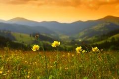 Le jaune sauvage fleurit le Trollius dans les montagnes Image stock