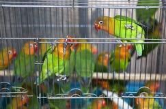Le jaune vert Parrots le marché d'oiseau de Hong Kong photos libres de droits