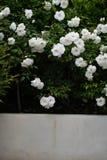 Le jet des roses blanches de floribunda fleurissent dans l'arrangement de jardin photos stock