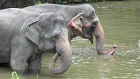 Le jeu de maximus d'Elephas d'éléphants asiatiques dans l'eau banque de vidéos